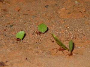Муравьи-листорезы несут штуки для грибов