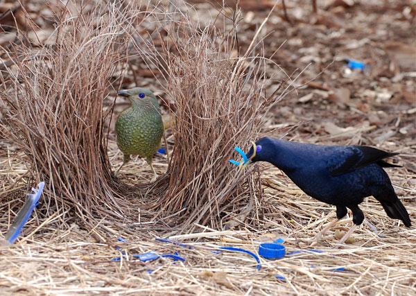 Птицы-шалашники