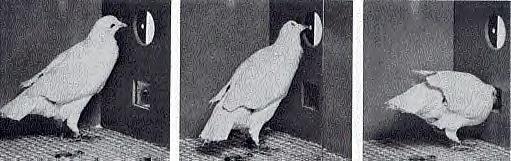 эксперименты над голубями